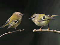Çalıkuşu, farklı dallar üstünde erkek ve dişi çalı kuşları