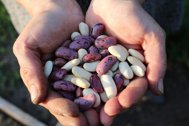 legume, bean, beans, fiber