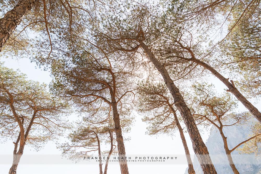Mediterranean pine trees