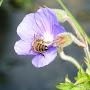 abeille qui butine géranium vivace