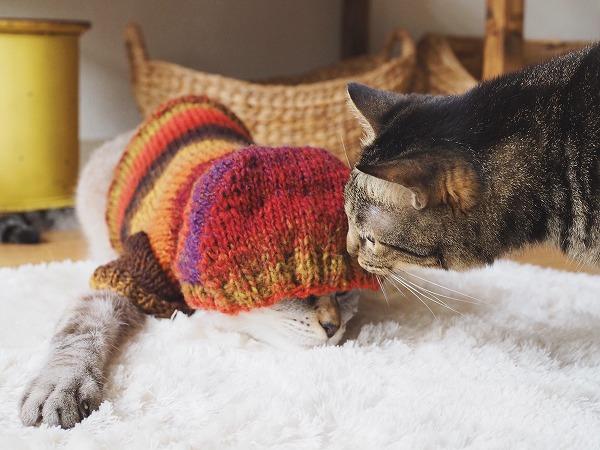 撮影中のシャムトラ猫に近付いてにおいを嗅ぐキジトラ猫