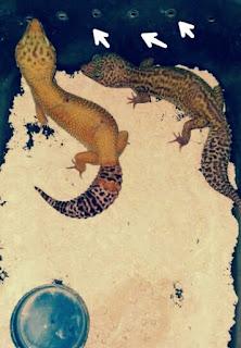 Cara Ternak Gecko yang Yang Benar Untuk Pemula