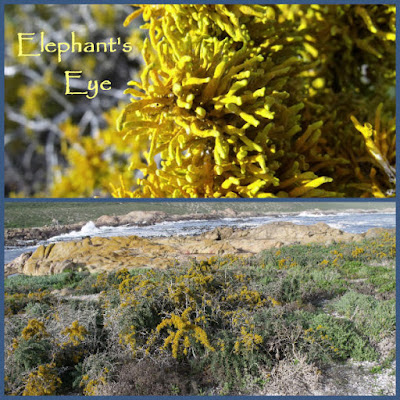 Yellow lichen at Cape Columbine