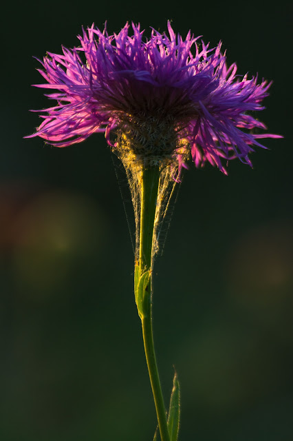 Backlit Thistle, Cross Timbers Trail