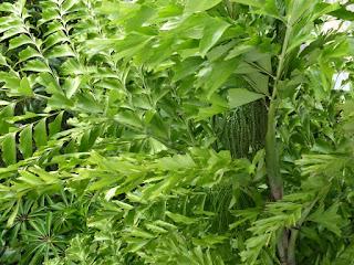 Palmier à Queue de Poisson de Birmanie - Caryota mitis - Petit palmier céleri