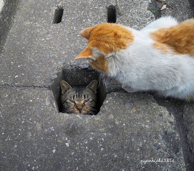 Foto Kucing Lucu Yang Sedang Main di Lubang Selokan
