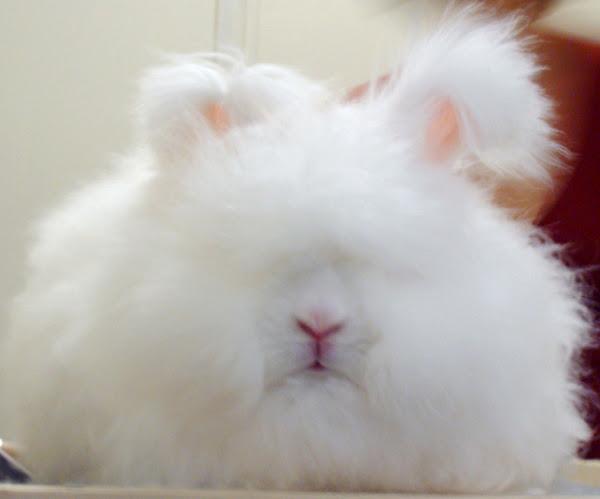 angora rabbit, about angora rabbit, angora rabbit pictures, angora rabbit history, angora rabbit facts, angora rabbit characteristics, angora rabbit breeds, angora rabbit variety, angora rabbit behavior, angora rabbit as pets, angora rabbit colors, angora rabbit fur, angora rabbit hair, angora rabbit info, angora rabbit information, angora rabbit origin, angora rabbit personality, angora rabbit size, angora rabbit wool, english angora rabbit