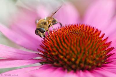 Präriebeet als Insekten-Nahrungsquelle - pflegeleichter Garten - Geniesser Garten