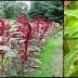 Eating Amaranth Leaves For Good Health