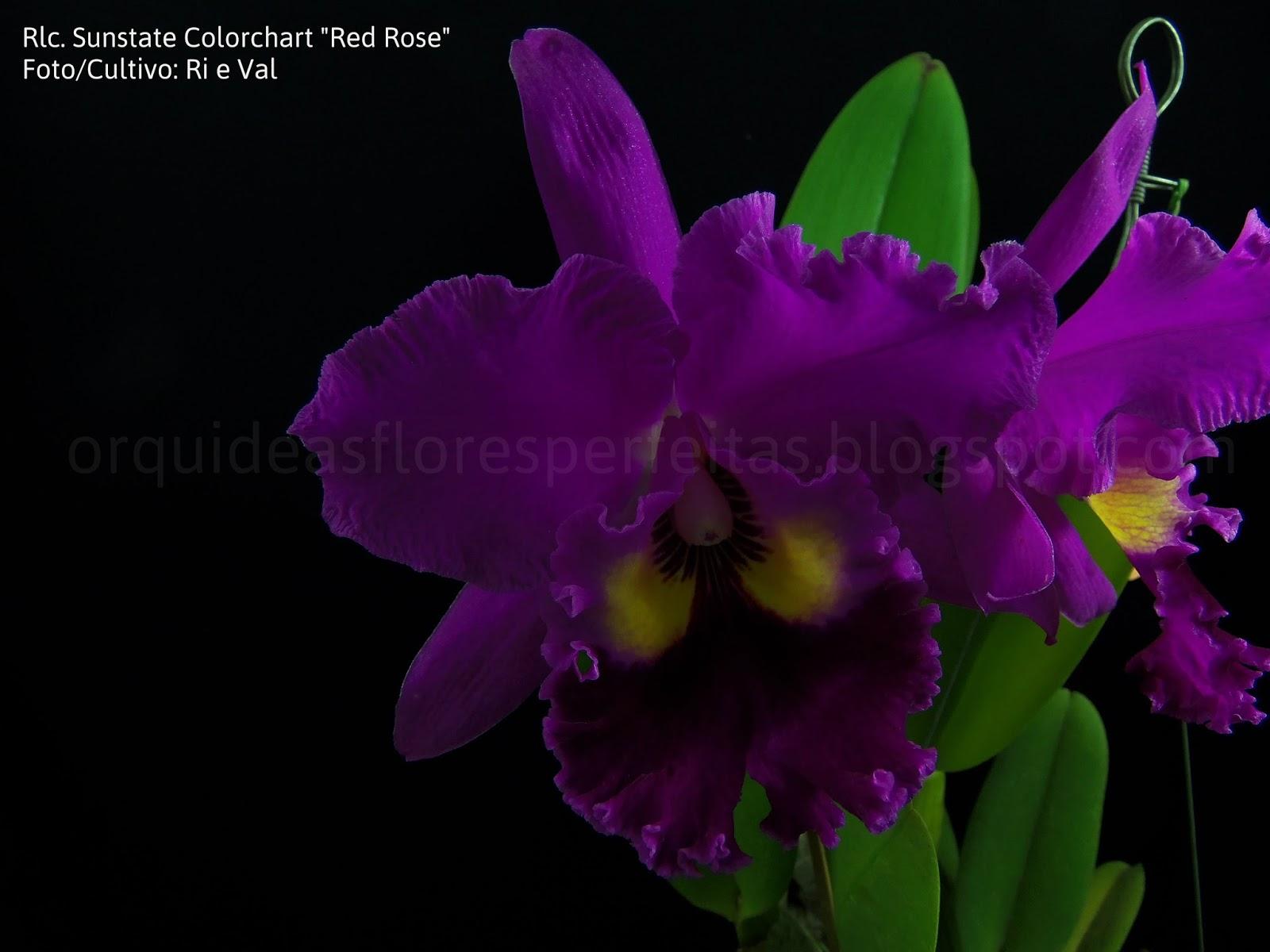 Rhyncholaeliocattleya Sunstate Colorchart Red Rose Orqudeas