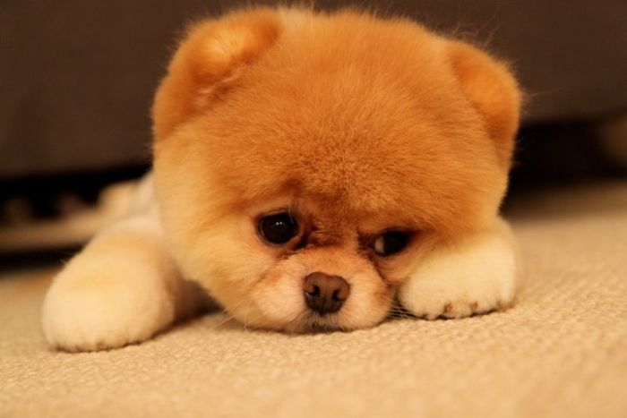 pomeranian boo dogs my funny beautiful pomeranian puppy named boo pictures 534