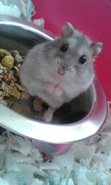 #AdoptDontShop Minky Russian Dwarf Hamster