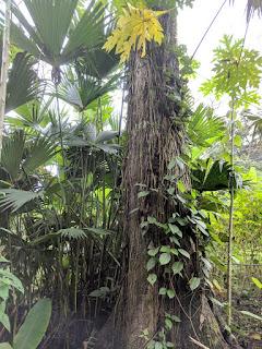 Chunchu tree, Ecuador's Amazon