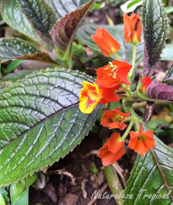 Flor de una planta de la familia Gesneriaceae