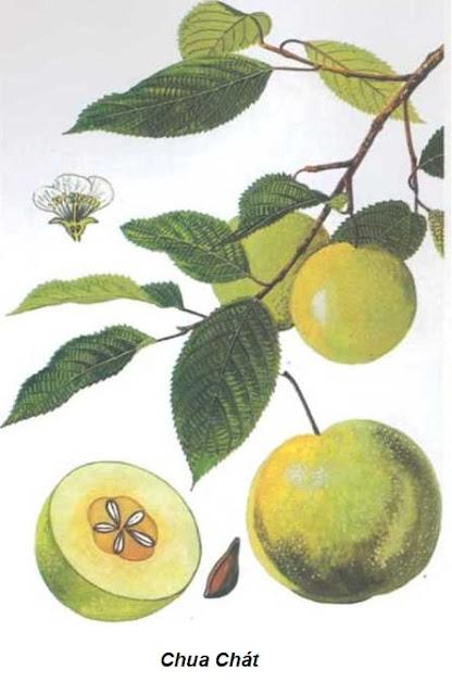Chua chát -Docynia doumeri - Nguyên liệu làm thuốc Chữa Bệnh Tiêu Hóa