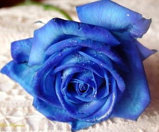 Gambar Bunga Mawar Biru Paling Cantik_Blue Roses Flower 200016