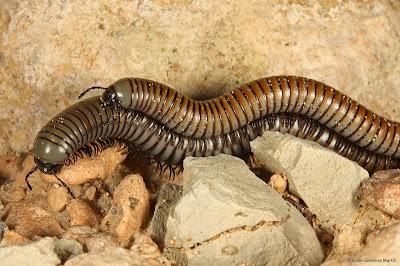 Miriapodos reproduccion asexual de las plantas