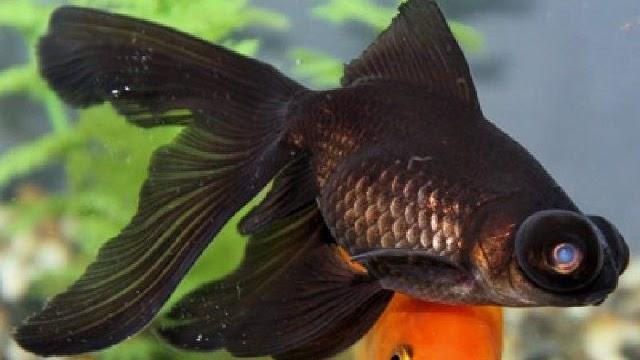 Teknik Pemanenan Ikan Mas Koki