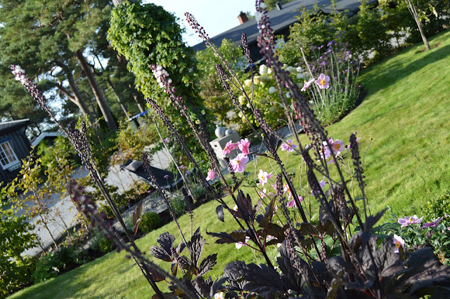 Høstormedrue i knopp - Actaea Simplex