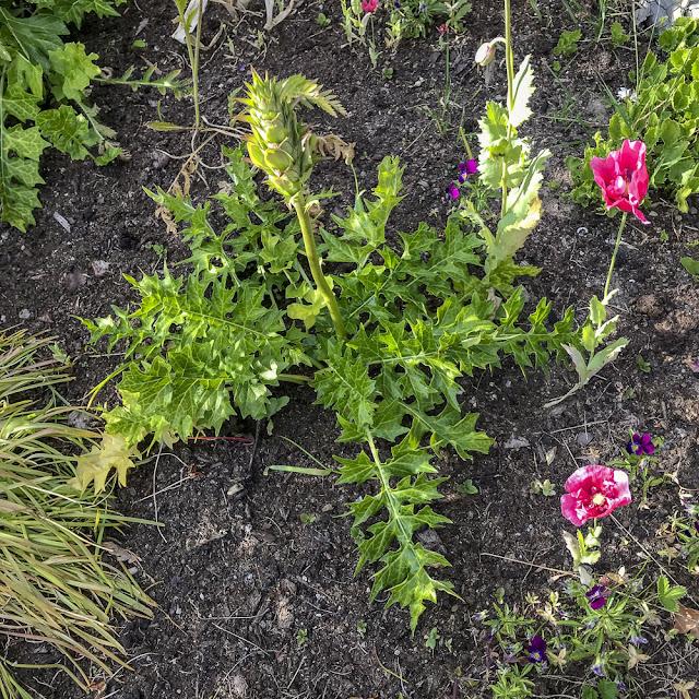 akantus, acanthus