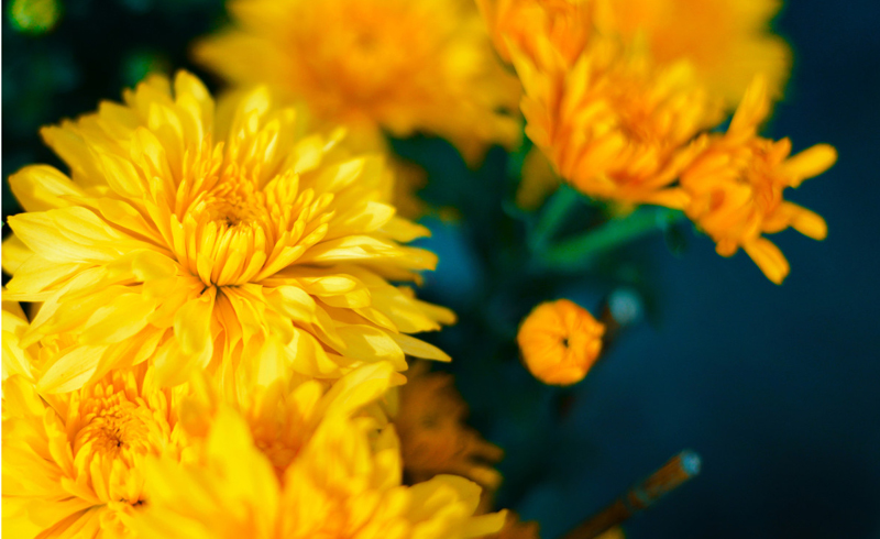 how to care for chrysanthemums, can a chrysanthemum be planted outside, planting and growing chrysanthemums, tips for growing mums in the garden