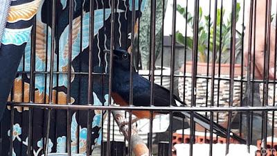 Ini Dia Burung Peraih Piala Presiden yang Ditawar Presiden Jokowi Rp 600 Juta - Info Presiden Jokowi Dan Pemerintah
