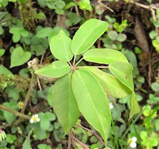 Holboellia deflexa, Lardizabalaceae