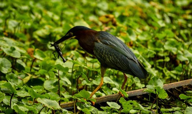 Bird preying - making the kill in Costa Rica