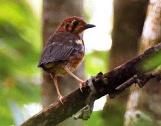 Cara Membedakan Jantan Dan Betina Trotolan Pada Burung Anis Merah.