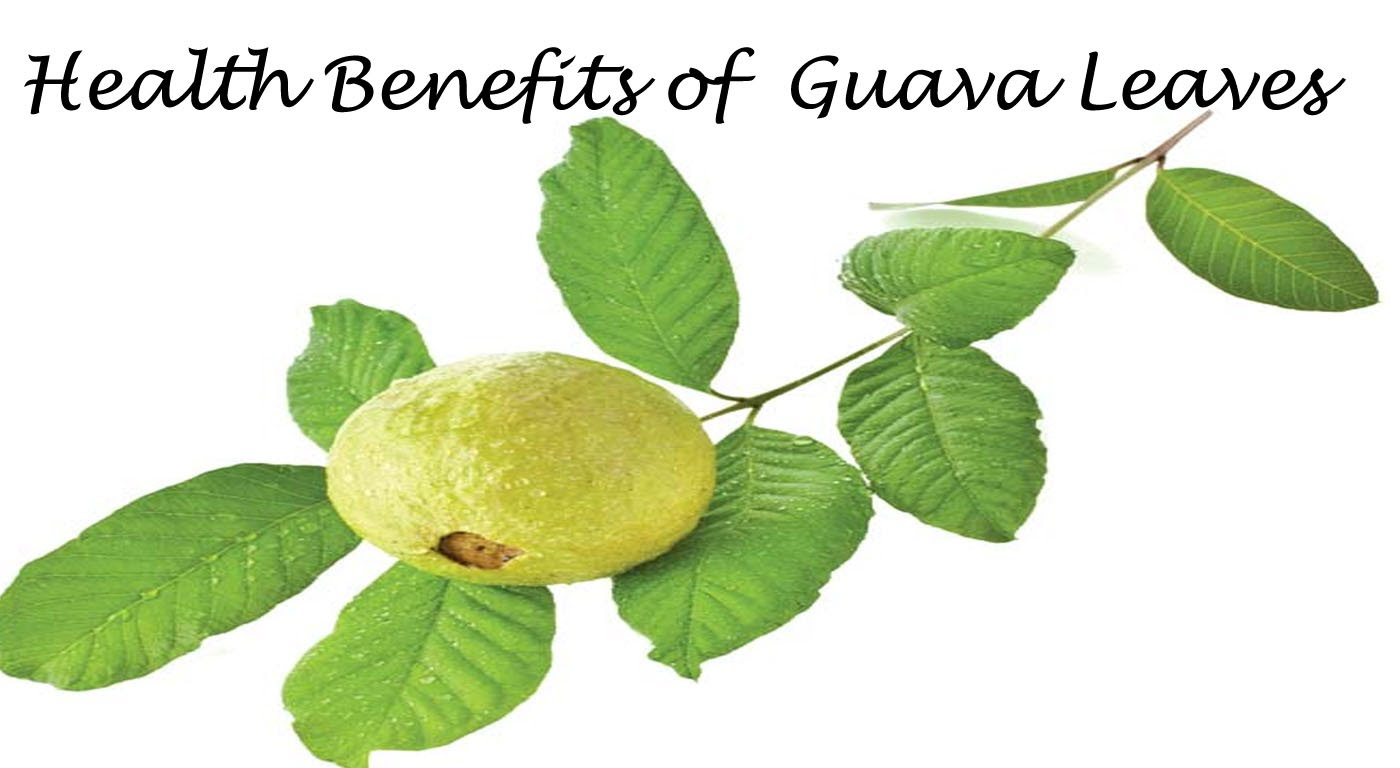 guava leaves Benefits of guava leaves major benefit of guava leaves is helping in fat loss this article will cover importance and procedure to make guava leaves tea regular consumption of this tea can gives you several health benefits which are described in this article.