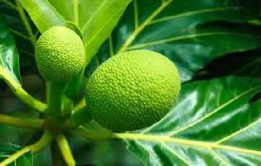 Inilah manfaat batang, daun, akar, getah dari tanaman sukun untuk mengobati penyakit diabetes, ginjal, hati, Jantung, sakit gigi, kanker payudara dan penyakit kulit.
