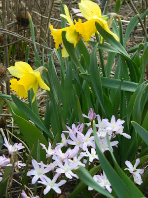 Narcissus and Chionodoxa spring blooms at Toronto Botanical Garden by garden muses-not another Toronto gardening blog