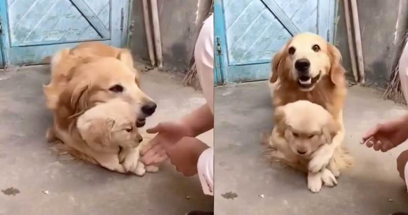Σκυλίτσα δεν θέλει να ακουμπούν το μωρό της...(βίντεο)