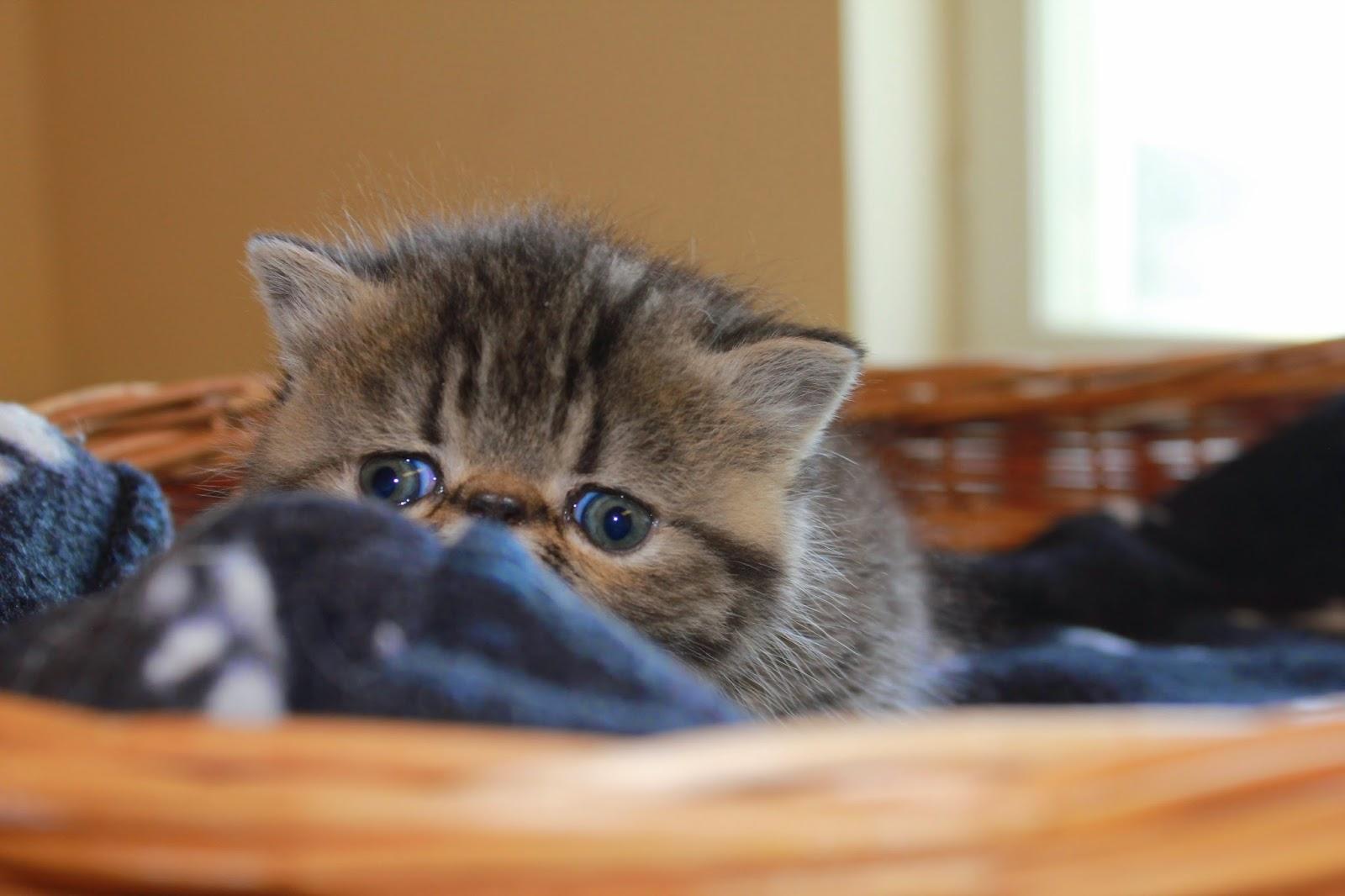luovutusikäisiä kissanpentuja oulu