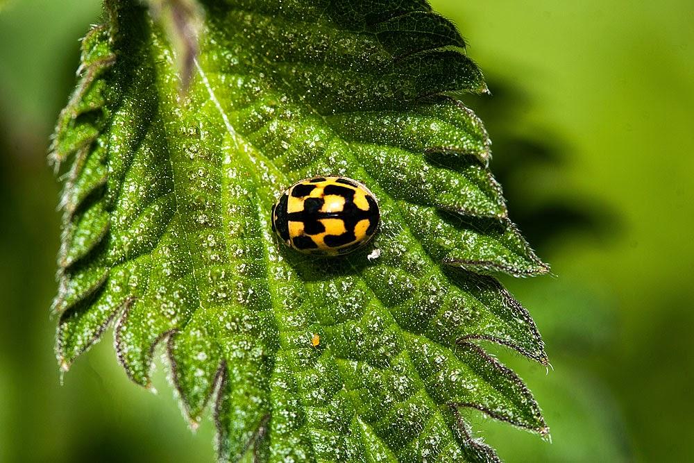 14 Spot Ladybird - Loughton Valley Park, Milton Keynes