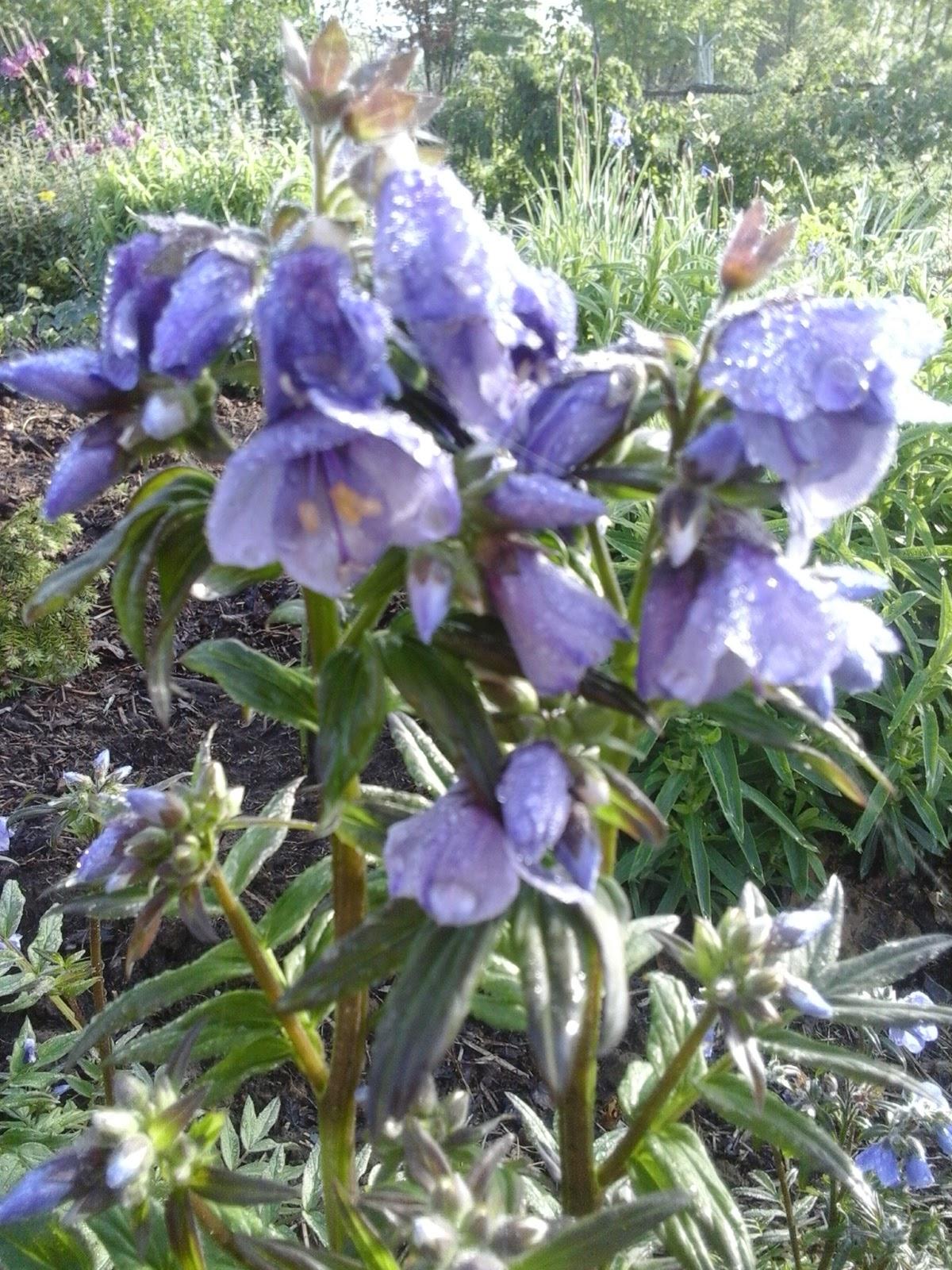 Chambres d h´tes au Jardin des Violettes Polémonium caéruléum ou
