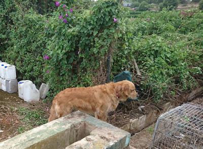 Apelsinblomshund inspekterar arbetet