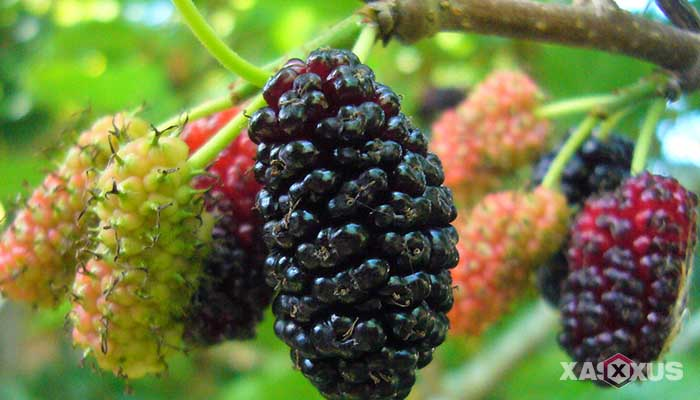 Buah penambah darah untuk penderita darah rendah - Mulberry