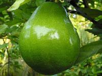 gambar buah alpukat, bahasa arab buah alpukat