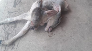 Inusitado: bezerro nasce com duas cabeças no Sertão da Paraíba