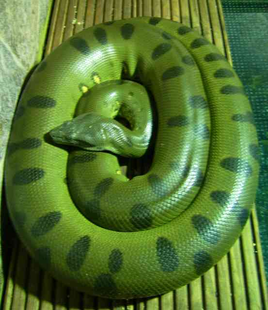 Big Snakes: Your Guide to the World's Giant Snakes