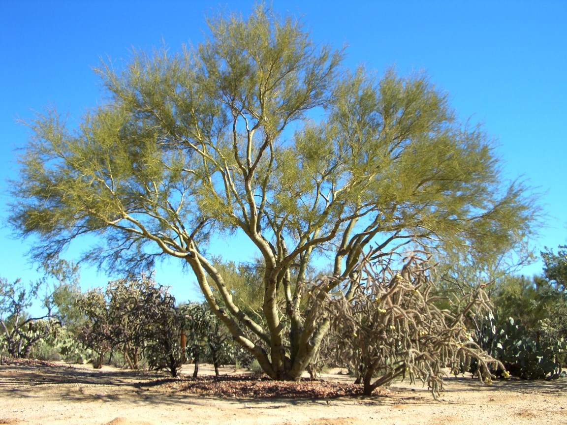 how to get rid of mesquite trees