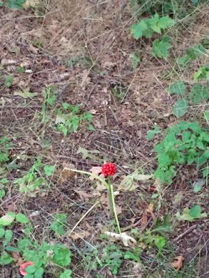 Red Baneberry, pretty but poisonous
