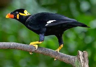 Cara jitu melatih burung beo berbicara