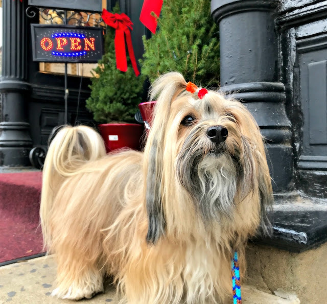 Rocco Havanese dog shopping
