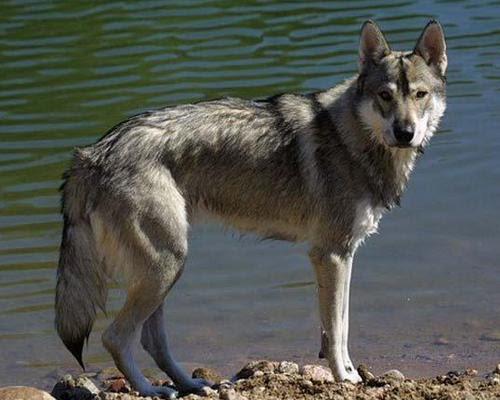 Grey Tamaskan Dog
