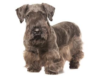 Everything about your Cesky Terrier