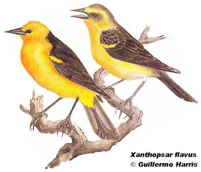 Saffron cowled Blackbird