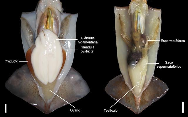 Aparato reproductor macho y hembra pota voladora y costera © CALOCEAN