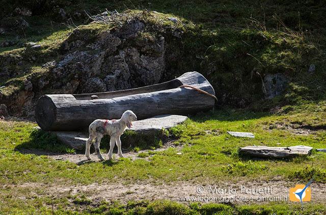Pecorella poco oltre alpe Oreto